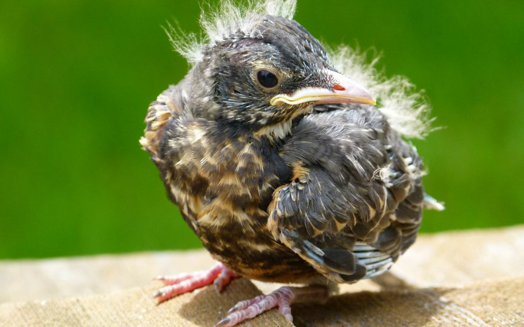 Molting baby robin with tufts of feathers on head and back