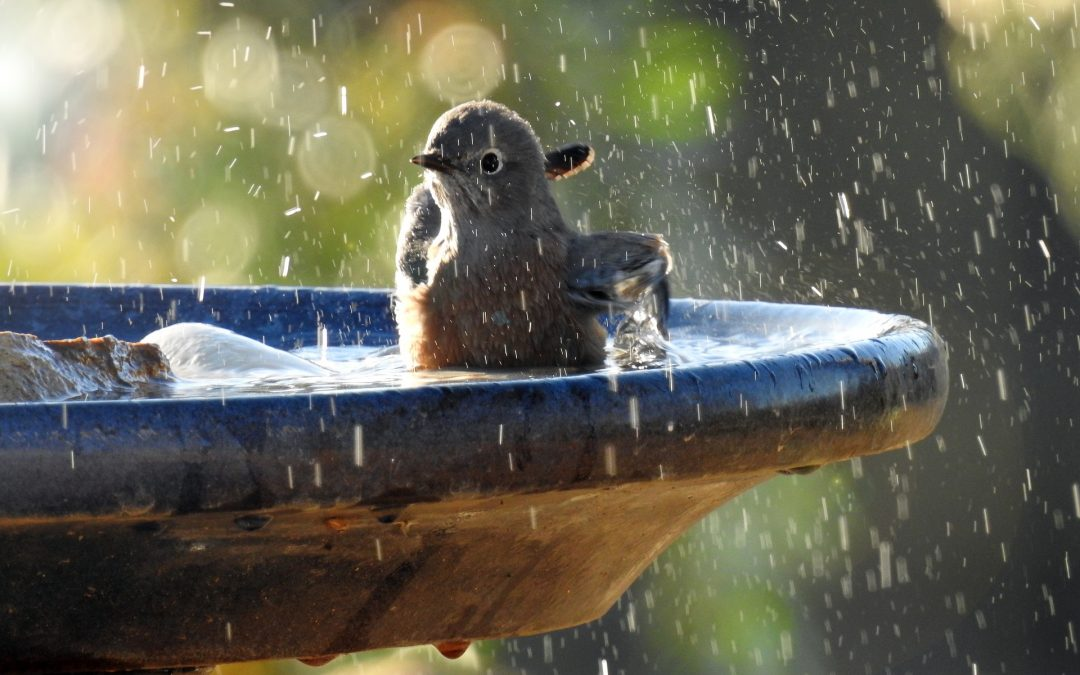 Bluebird flapping in a bird bath