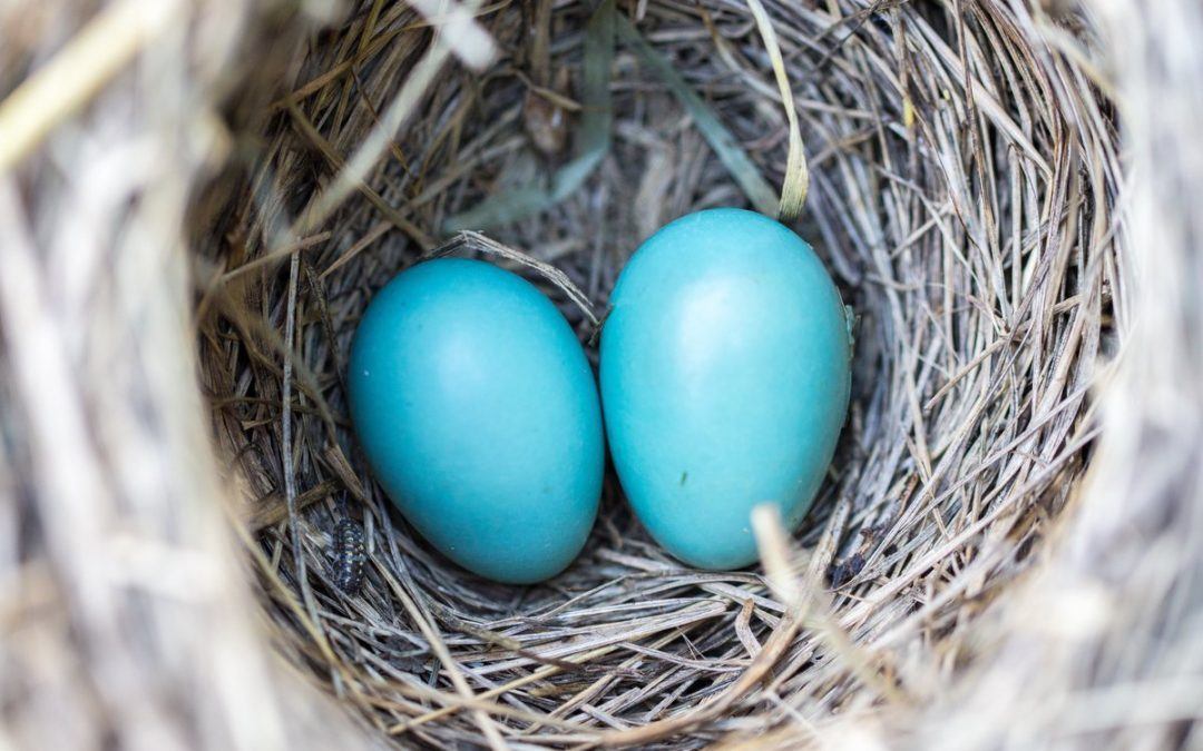 Close up imageof robin's nest with two blue eggs