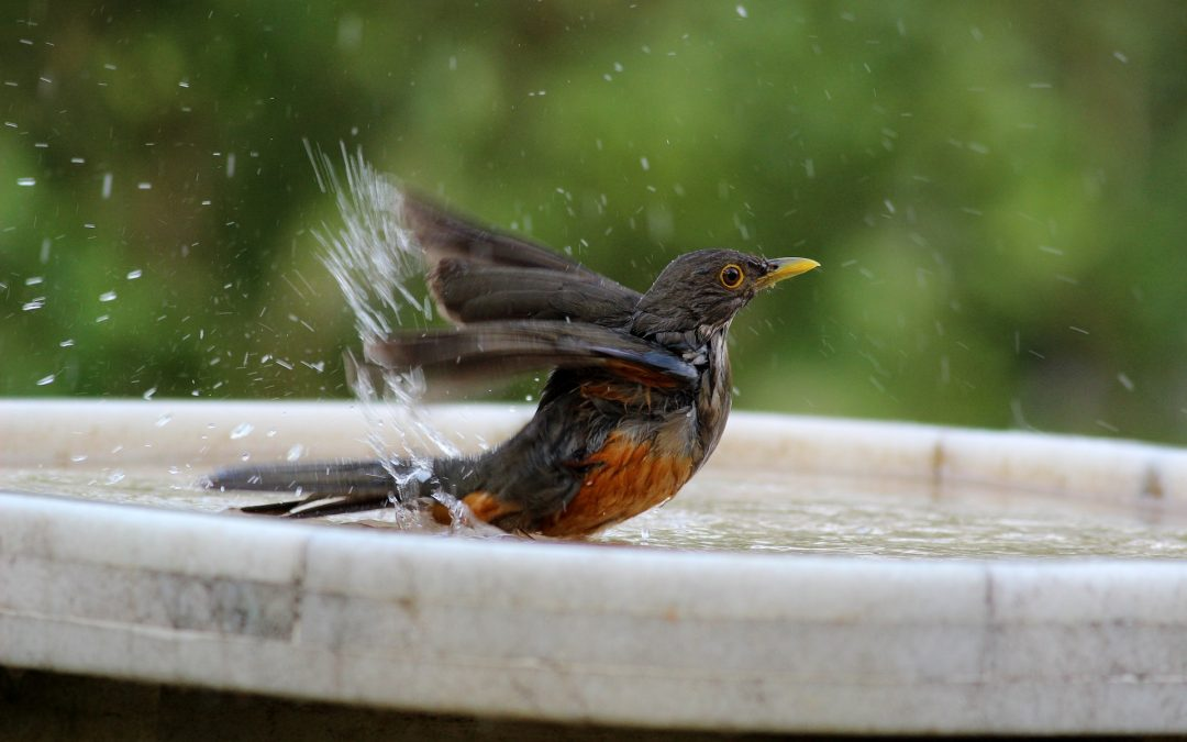 Red-breasted robin splashing in birdbath